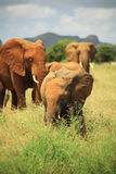 Kudde van Afrikaanse olifanten Royalty-vrije Stock Afbeelding