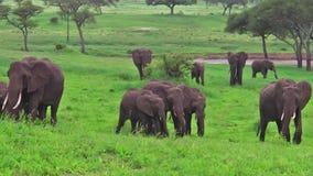 Kudde van Afrikaanse Olifanten stock videobeelden