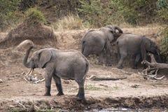 Kudde van Afrikaanse Olifanten die bestrooien op de rivierbank stock afbeeldingen