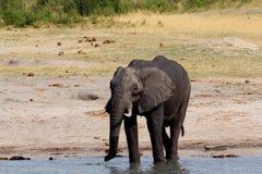 Kudde van Afrikaanse olifanten die bij een modderige waterhole drinken Royalty-vrije Stock Fotografie