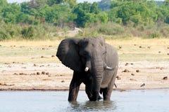 Kudde van Afrikaanse olifanten die bij een modderige waterhole drinken Stock Fotografie