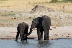Kudde van Afrikaanse olifanten die bij een modderige waterhole drinken Stock Foto's