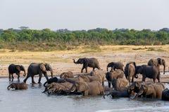 Kudde van Afrikaanse olifanten die en op waterhole drinken baden Stock Foto's