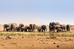 Kudde van Afrikaanse Olifanten die Stof in Savanne, Kruger-Park, Zuid-Afrika opheffen Stock Afbeelding