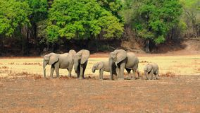 Kudde van Afrikaanse Olifanten op de open vlaktes met een natuurlijke bushveldachtergrond in Mfuwe, het Nationale Park van Zuiden Royalty-vrije Stock Fotografie