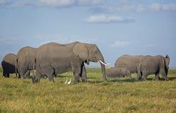 Kudde van Afrikaanse Olifanten op weiland stock afbeeldingen