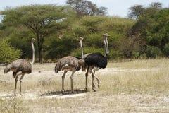Kudde van Afrikaanse Struisvogel Stock Afbeeldingen