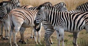 Kudde van Afrikaanse Zebras Royalty-vrije Stock Foto