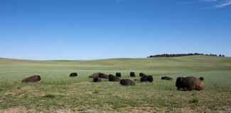 Kudde van Amerikaanse Buffels Royalty-vrije Stock Afbeeldingen
