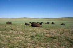 Kudde van Amerikaanse Buffels Royalty-vrije Stock Afbeelding