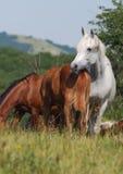 Kudde van Arabische paarden Royalty-vrije Stock Foto's