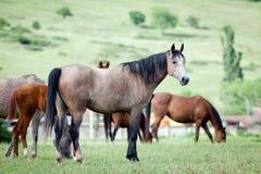 Kudde van Arabische paarden bij weiland Royalty-vrije Stock Afbeeldingen