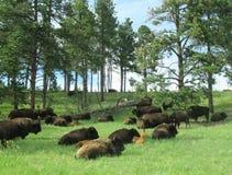 Kudde van bizon die op gebied rusten stock foto