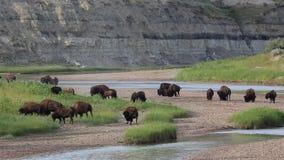 Kudde van bizon op de Rivier van Little Missouri stock video