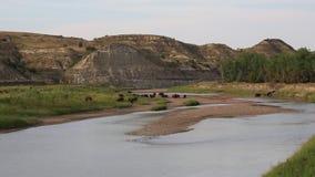 Kudde van bizon in T Roosevelt NP stock footage