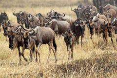 Kudde van blauwe wildebeests tijdens de grote migratie Royalty-vrije Stock Fotografie