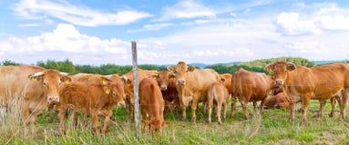Kudde van bruine koeien in aard Stock Foto
