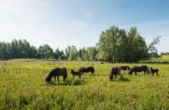 Kudde van bruine paarden die in wilde aard weiden Stock Foto
