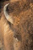 Kudde van buffels Stock Afbeeldingen