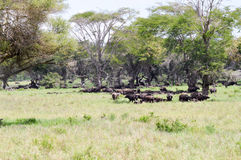 Kudde van buffels in de schaduw Stock Fotografie
