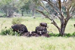Kudde van buffels in de schaduw van een boom Stock Foto's