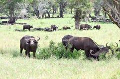 Kudde van buffels in de schaduw van een boom Royalty-vrije Stock Foto's