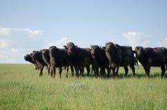 Kudde van buffels op het gebied stock fotografie