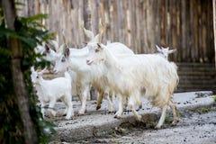 Kudde van de binnenlandse geiten van Girgentana Royalty-vrije Stock Afbeelding