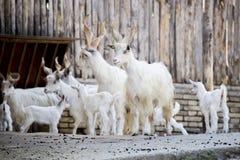 Kudde van de binnenlandse geiten van Girgentana met jonge geitjes Stock Foto