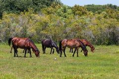 Kudde van de Wilde Mustangs die van Corolla in Weide weiden stock foto