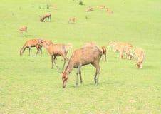 Kudde van deers stock fotografie