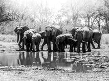 Kudde van dorstig Afrikaans olifanten drinkwater bij waterhole De Reserve van het Moremispel, Okavango-gebied, Botswana Stock Afbeelding