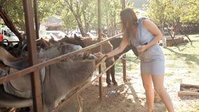 Kudde van ezels op de boerderij stock video