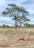 Kudde van Gazelles, het Nationale Park van Tarangire, Tanzania, Afrika Royalty-vrije Stock Foto