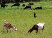Kudde van geiten Stock Afbeelding