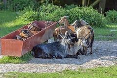 Kudde van geiten Stock Foto