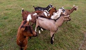 Kudde van geiten allen die dezelfde richting kijken Stock Fotografie