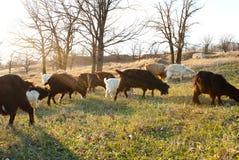 Kudde van geiten het weiden Stock Fotografie