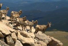 Kudde van geiten op Onderstel Evans Stock Afbeelding