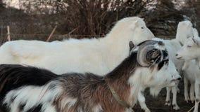 Kudde van geiten op weiland stock footage