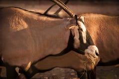 Kudde van Gemsbok in de woestijn royalty-vrije stock foto