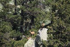 Kudde van gemzen in de Pyreneeën Stock Foto's