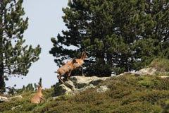 Kudde van gemzen in de Pyreneeën Royalty-vrije Stock Foto