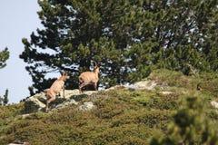 Kudde van gemzen in de Pyreneeën royalty-vrije stock foto's