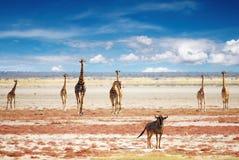 Kudde van giraffen Royalty-vrije Stock Afbeeldingen