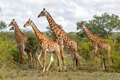 Kudde van giraffen in Zuid-Afrika stock afbeeldingen