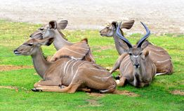 Kudde van Grotere strepsiceros van Kudu Tragelaphus stock foto's
