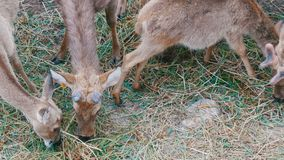 Kudde van herten die in het bos weiden stock videobeelden