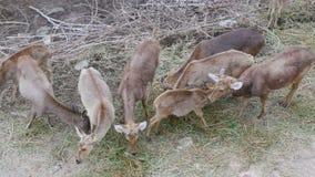 Kudde van herten die in het bos weiden stock video