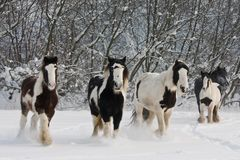Kudde van het lopen paarden Stock Afbeeldingen
